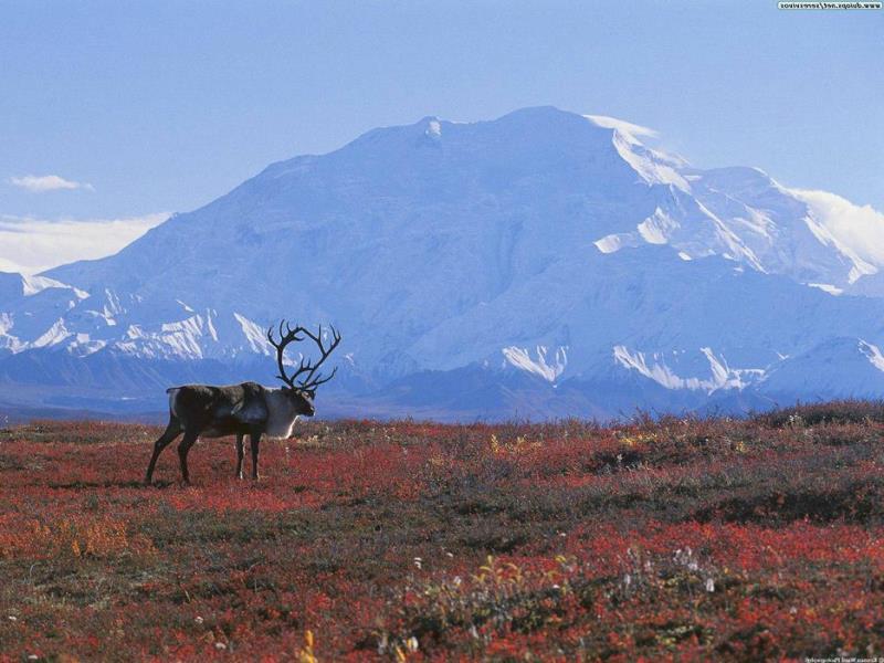tundra biome animal life