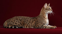 [صورة مرفقة: cat%2Bsava%2B9.jpg]