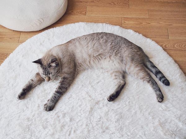 手足を伸ばして白いラグの上に寝そべってるシャムトラ猫