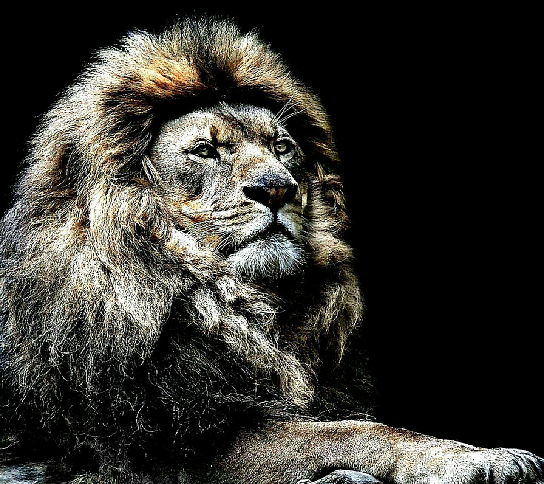 wallpaper 1280x800 hd download, wallpaper 1280x800 pack lion