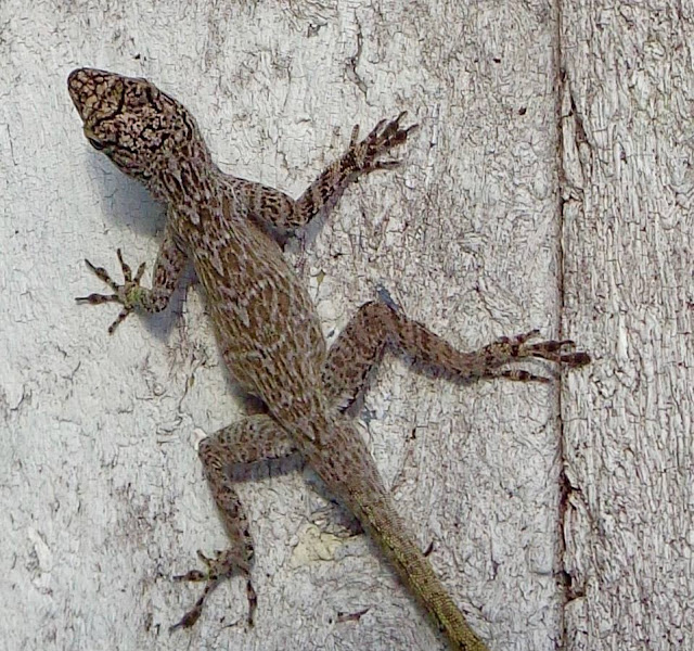 Lizard at Chapel Trail Nature Preserve in Pembroke Pines