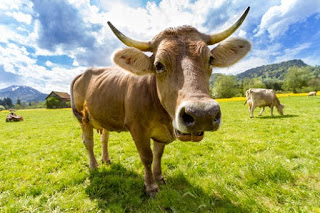 Man Caught Doing it to a Cow-See Where He Comes From