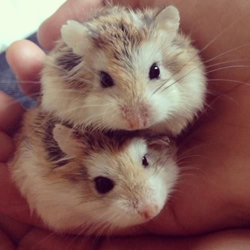 Can I Bath My Hamster In Water?: 6 Ways To Keep A Hamster Clean