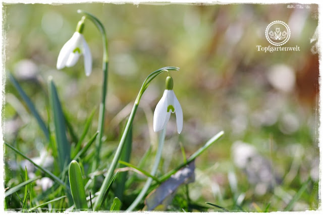 Gartenblog Topfgartenwelt Topfgarten + DIY mit Knagglig (Kiste) und Töpfen viel Platz auf kleinem Raum schaffen - Blumendeko mit Hornveilchen und Bellis passend für den Frühling und Ostern: Schneeglöckchen in der Wiese