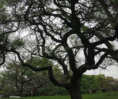 Erythrina crus-galli, Buenos Aires, Argentina