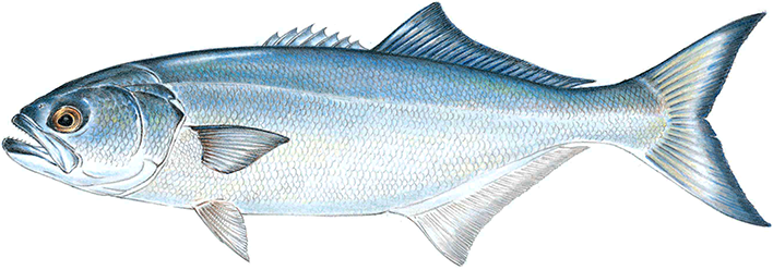 Cranberry county magazine fun fish facts bluefish for Blue fish rig
