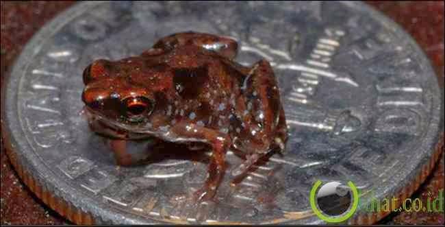 Paedophryne Amauensis Frog