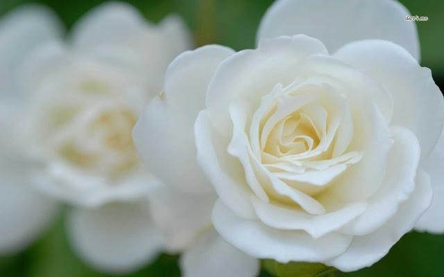 Hoa hồng trắng đẹp nhất thế giới