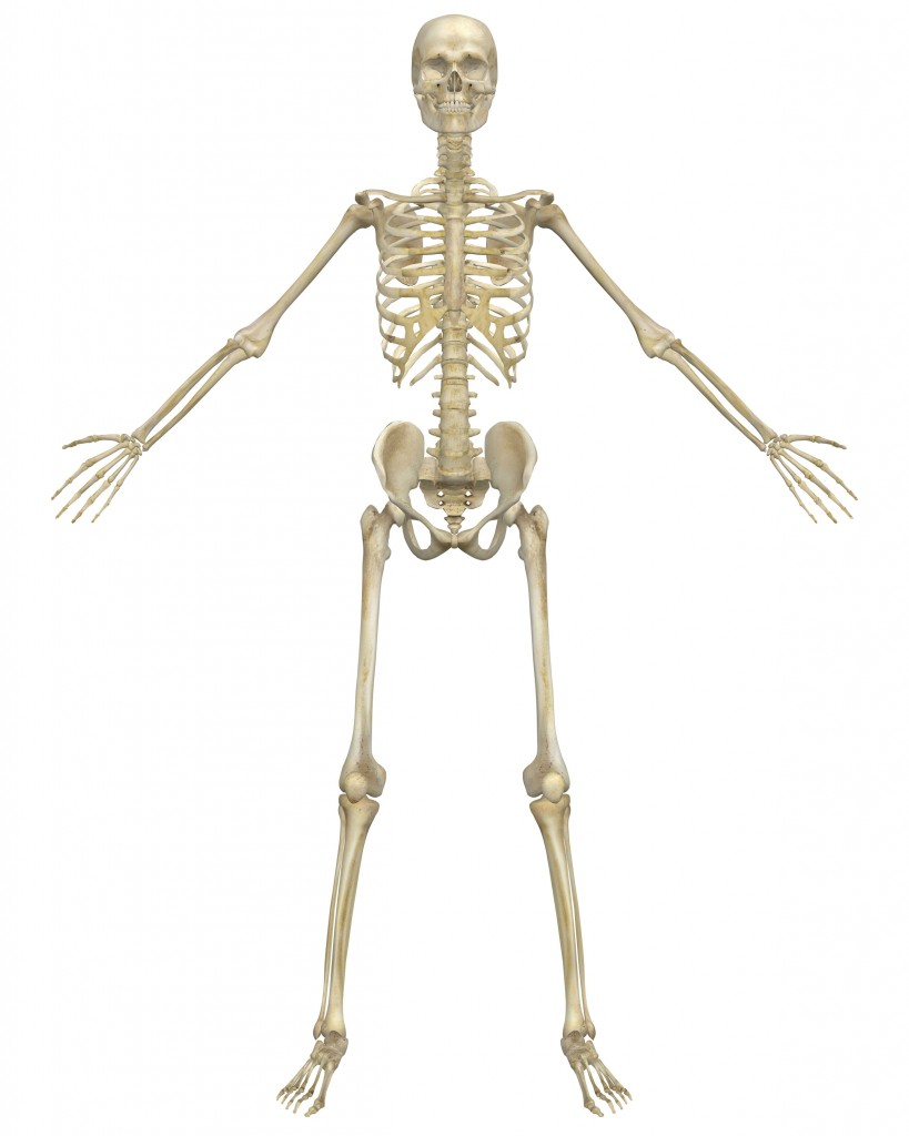 Human Skeleton Pictures 59