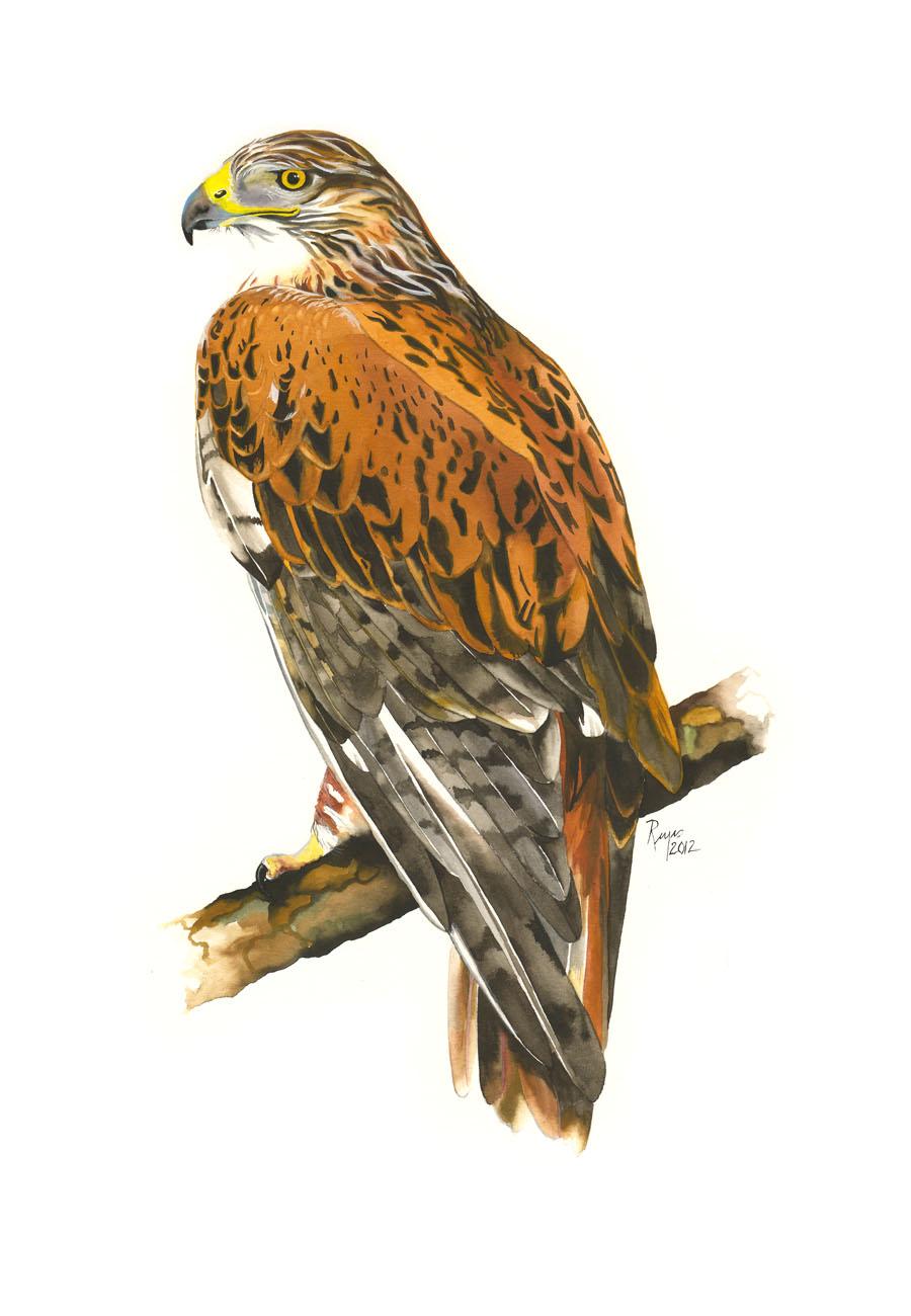 Hawk painting watercolor - photo#49