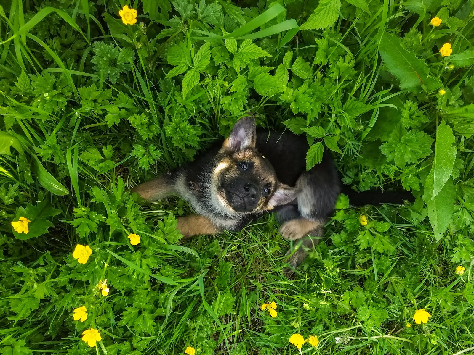 A German Shepherd puppy sitting in the grass looking up at the camera.