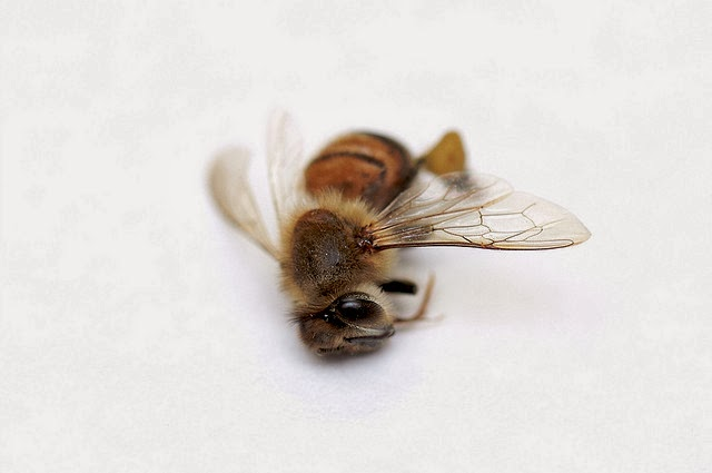 Dead bee by Maury McCown via Flickr