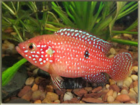 African Jewelfish Pictures