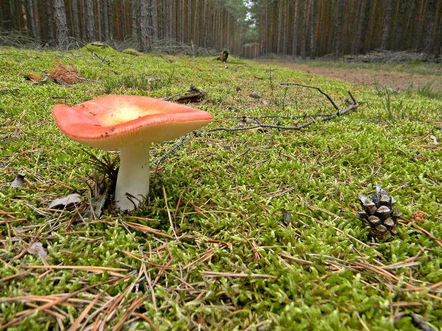 grzyby niejadalne, las sosnowy