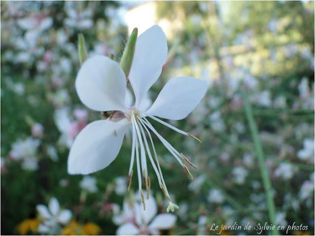 plante vivace d'été : gauras blanc