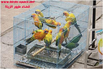 التشحيم عند طيور الزينة