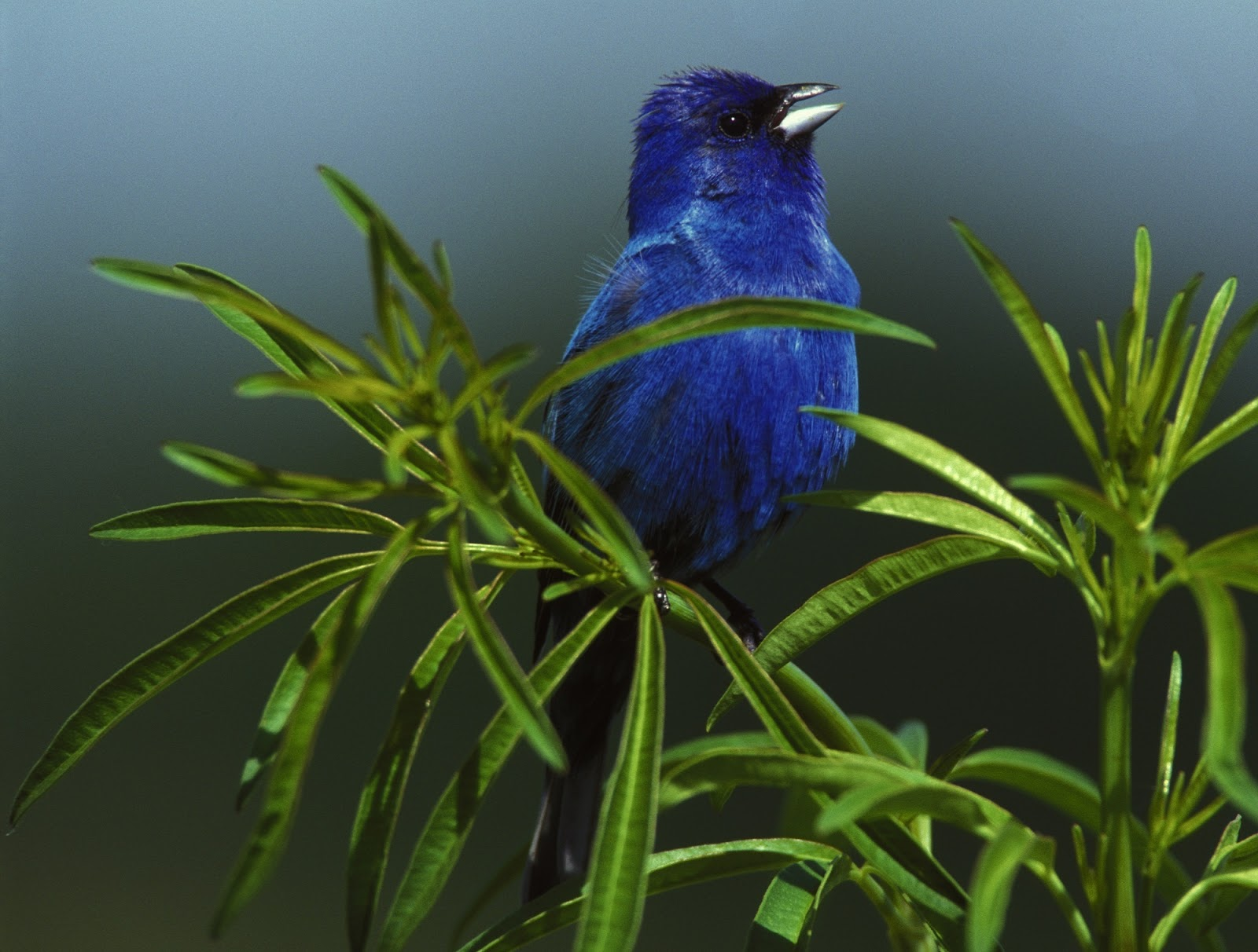 Picture of a male indigo bunting.