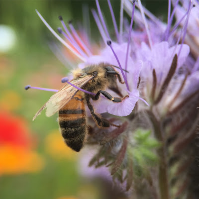 Honey bee on a purple tansy, taken with iPhone 6s and Olloclip macro lens
