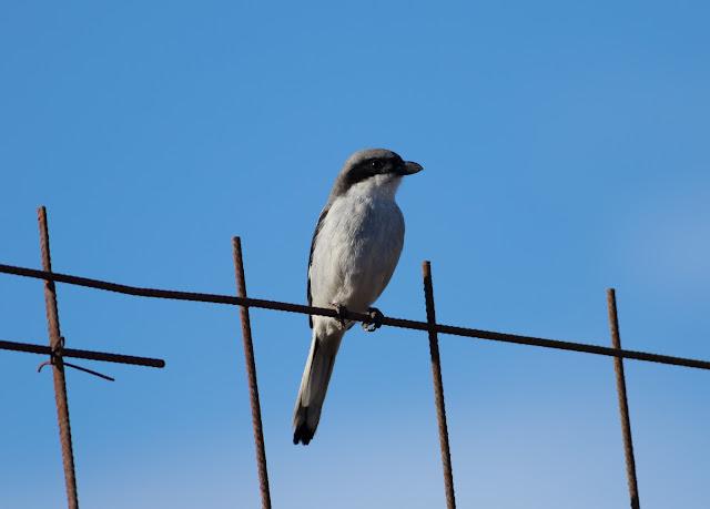 Southern Grey Shrike - Reserva de El Jarde, Fuerteventura