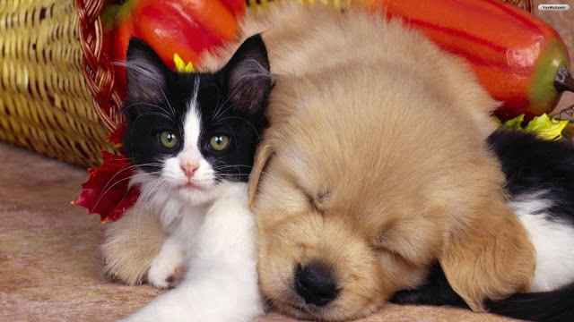 Cat and Dog Wallpaper 9