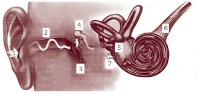Jelaskan Mekanisme Proses Mendengar pada Manusia?