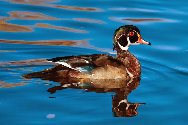 Wood Duck, Sterne Park