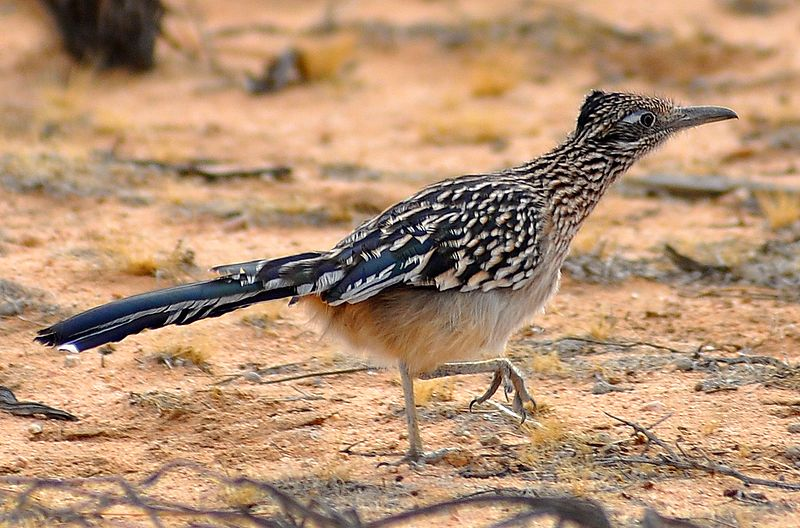 Roadrunner Geococcyx Facts
