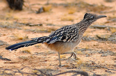Roadrunner [Geococcyx] Facts