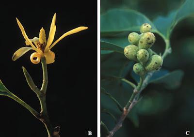 จำปีถิ่นไทย พรรณไม้ดอกหอมพื้นเมืองของไทย ดอกสีเหลือง ดอกมีกลิ่นหอม