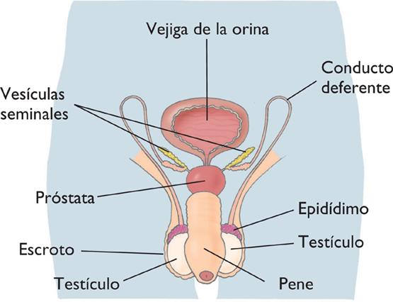 Biologia 6º De Secundaria Aparato Reproductor Masculino