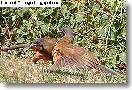 Rufus-vented Chachalaca (Ortalis ruficauda) birds of the West Indies
