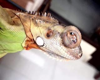Cara Mengobati Mata Iguana Bengkak Paling Ampuh Beserta Penyebabnya