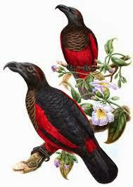 Loro aguileño: Psittrichias fulgidus