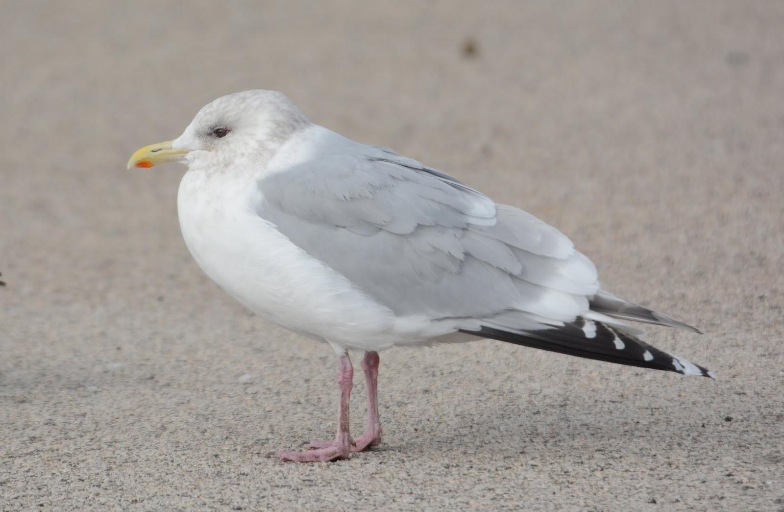 Josh's Blog: Thayer's Gulls: juveniles |Thayers Gull