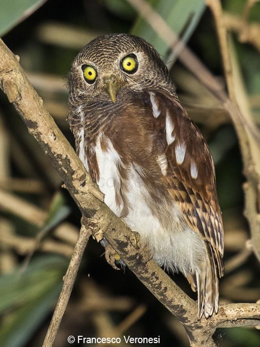 55 Jenis Burung Hantu Di Indonesia Terbaru Generasi Biologi