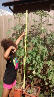 Kenaf Test Plants 6 ft Tall June 2016