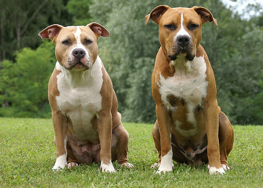 Analise De Cães: American Staffordshire Terrier