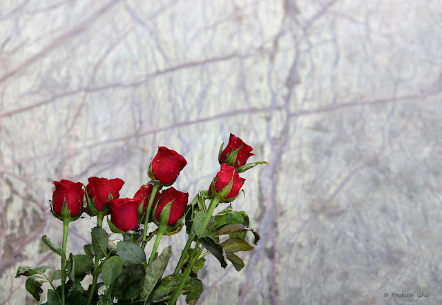 A Minimal Art Picture of a Set of 8 Red Roses against the backdrop of a textured Wall with negative space on the sides. Shot via Canon EOS 6D Mark II Camera.