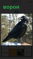 черный ворон наблюдает