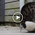 When This Cat Learns The Somersault Trick, No One Can Stop Him!