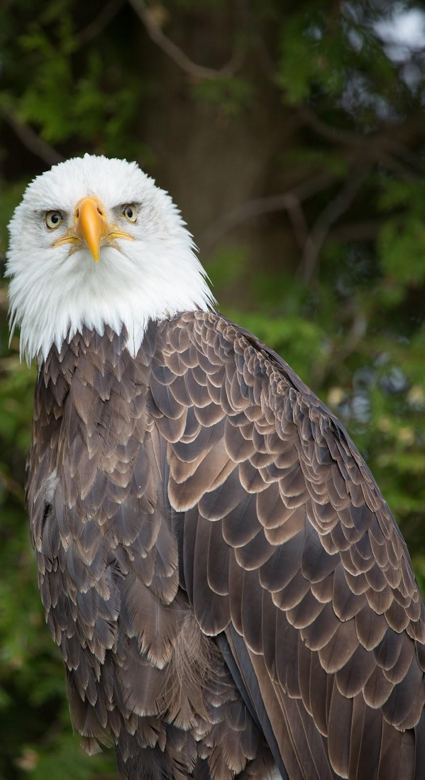 A bald eagle.