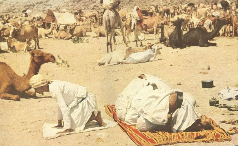 hajjis camels