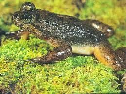 Come resuscitare rana estinta attraverso clonazione