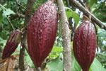 Cokelat / Kakao