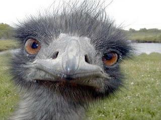 avestruz,ave,aves,inteligencia,animal que dios privo inteligencia,no inteligente,sin inteligencia,avestruz tonto
