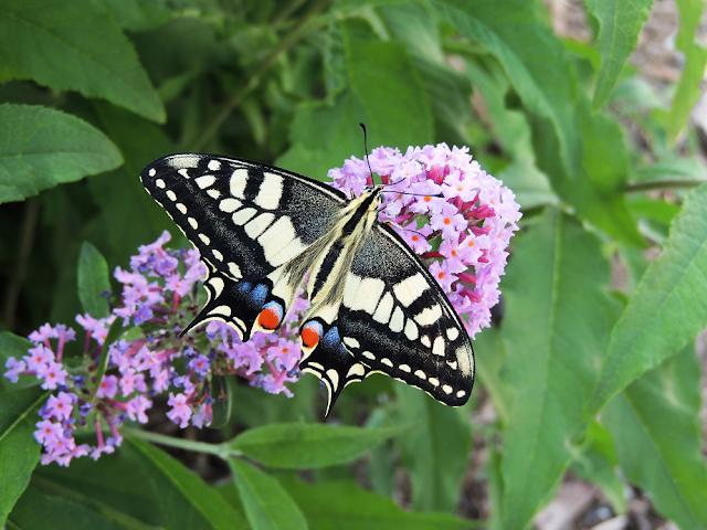 Papilio machaon sobre Buddleja davidii, anverso