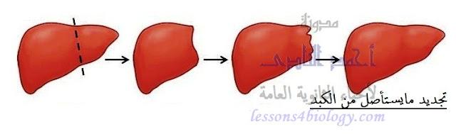 التجدد فى الكبد وتجديد مايستأصل منه