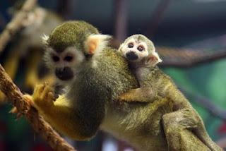 penyelundupan monyet