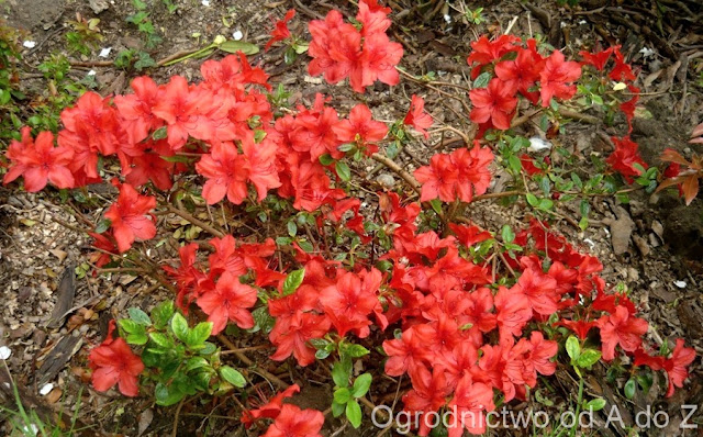 Azalea japonica 'Nordlicht'