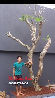 Harga jual pohon kamboja fosil paling murah